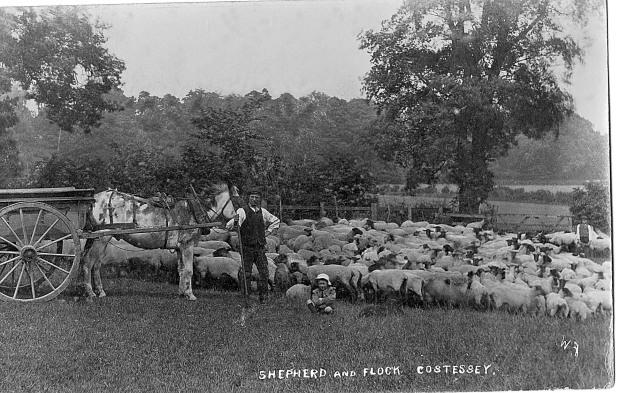 Shepherd at Costessey, c1910