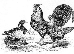 poultry045