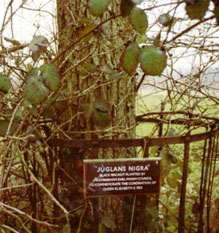 Juglans nigra, the black walnut.
