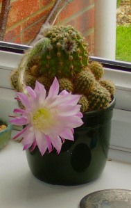 Arnall's cactus, or perhaps an off-shoot.