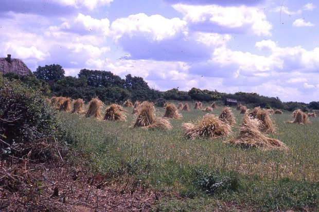 The stooks of corn